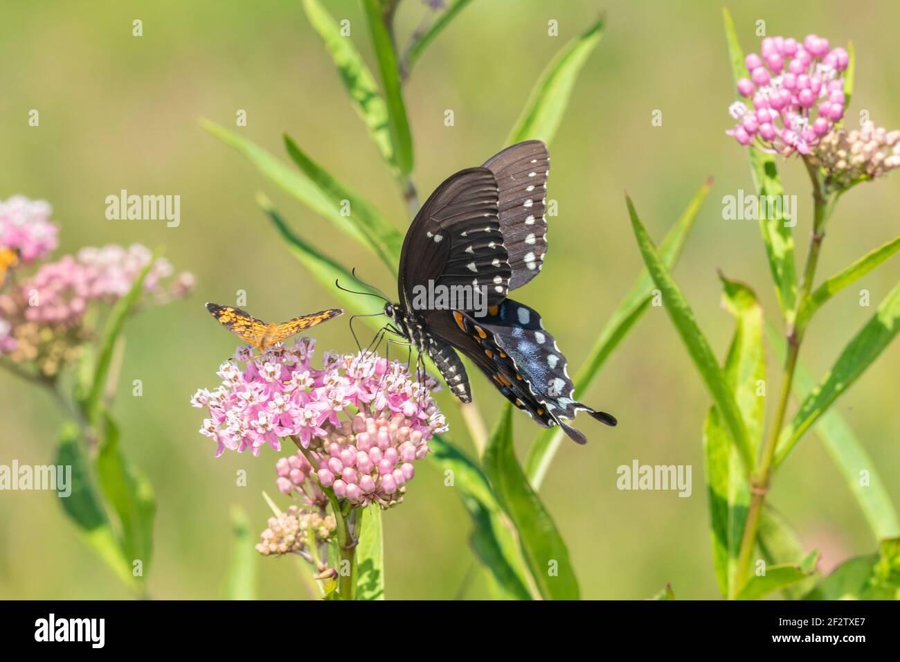 03029-01607 Picebush Swallowtail (Papilio troilus) en el pantano Milkweed (Asclepias incarnata) Marion Co. IL Foto de stock