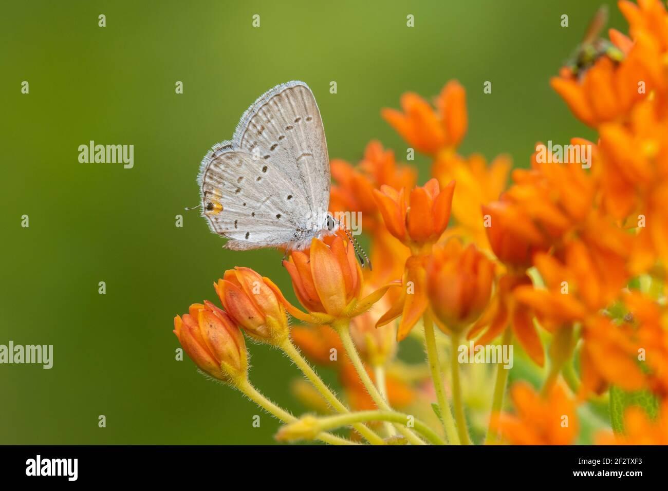 03226-01218 Azul de cola oriental (Everes comyntas) sobre la maleza mariposa (Asclepias tuberosa) Marion Co. IL Foto de stock