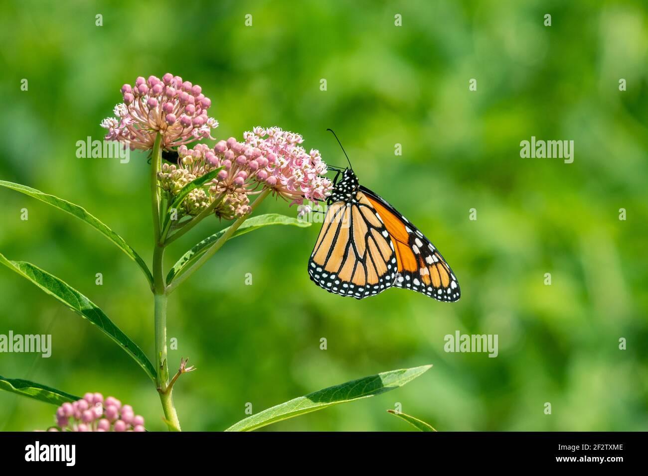 03536-06706 Monarca (Danaus plexippus) en Swamp Milkweed (Asclepias incarnata) Marion Co. IL Foto de stock