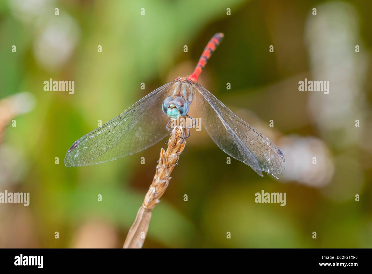 06652-00808 macho de cara azul Meadowhawk (Sympetrum ambiguum) en el humedal Marion Co. IL Foto de stock