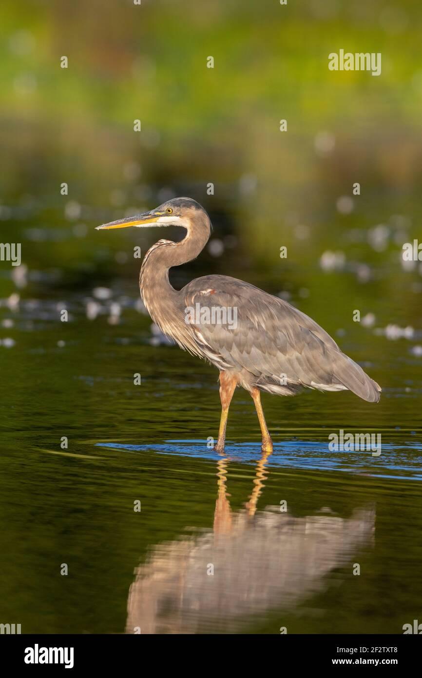 00684-05510 Heron Azul Grande (Ardea herodias) alimentándose en el humedal Marion Co. IL Foto de stock