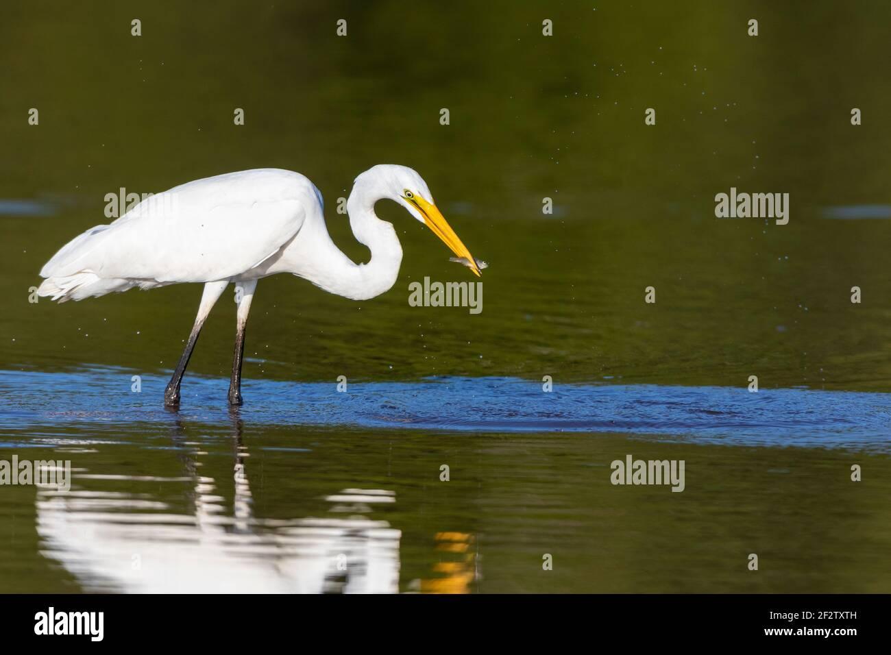 00688-02802 Gran Egret (Ardea alba) pesca en el humedal Marion Co.IL Foto de stock