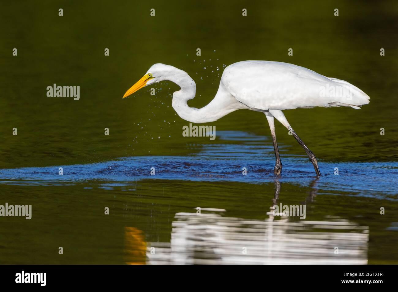 00688-02808 Gran Egret (Ardea alba) pesca en el humedal Marion Co.IL Foto de stock