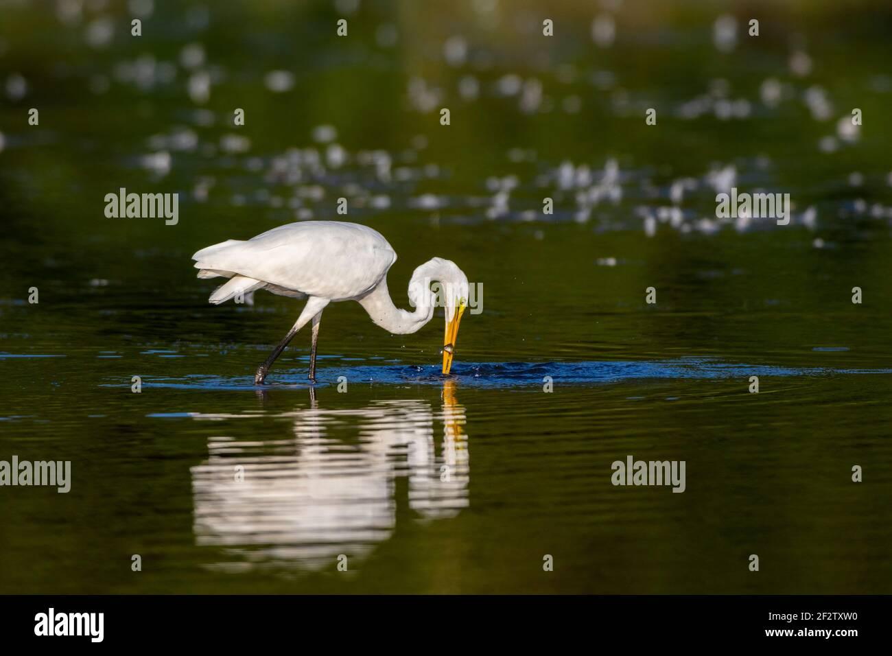 00688-02908 Gran Egret (Ardea alba) pesca en el humedal Marion Co.IL Foto de stock