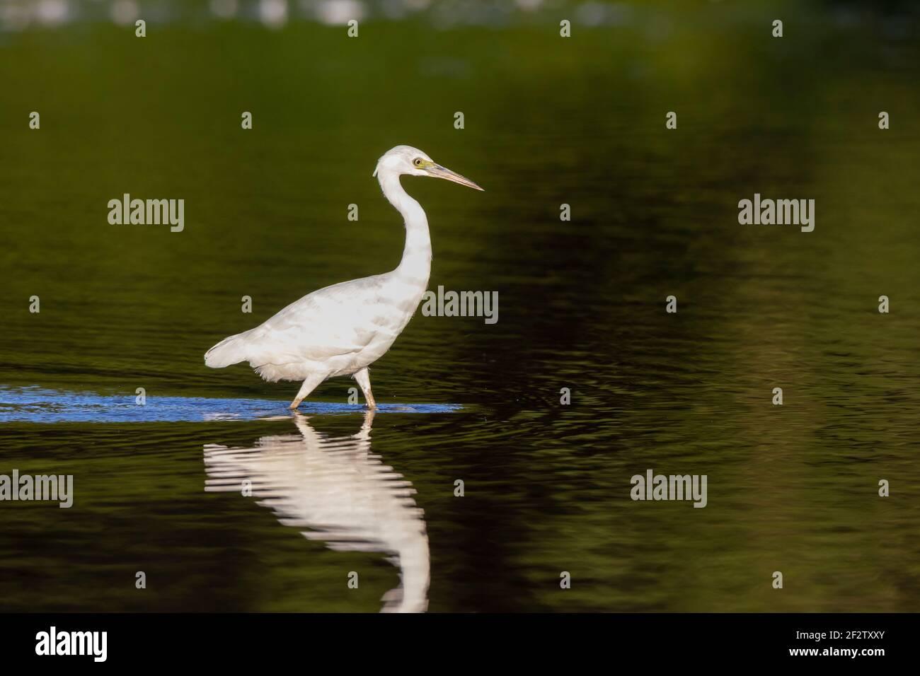 00689-01505 Little Blue Heron (Egretta caerulea) pesca inmadura en el humedal Marion Co. IL Foto de stock