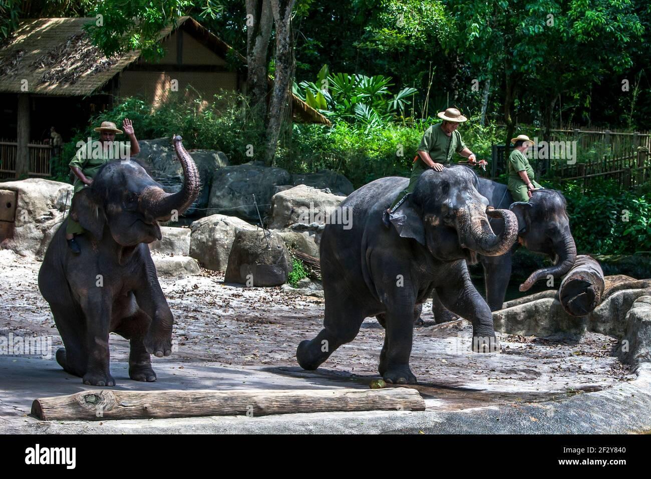 Los elefantes asiáticos actúan durante el espectáculo de elefantes en el Zoo de Singapur en Singapur. El Zoo de Singapur tiene una superficie de 26 hectáreas. Foto de stock