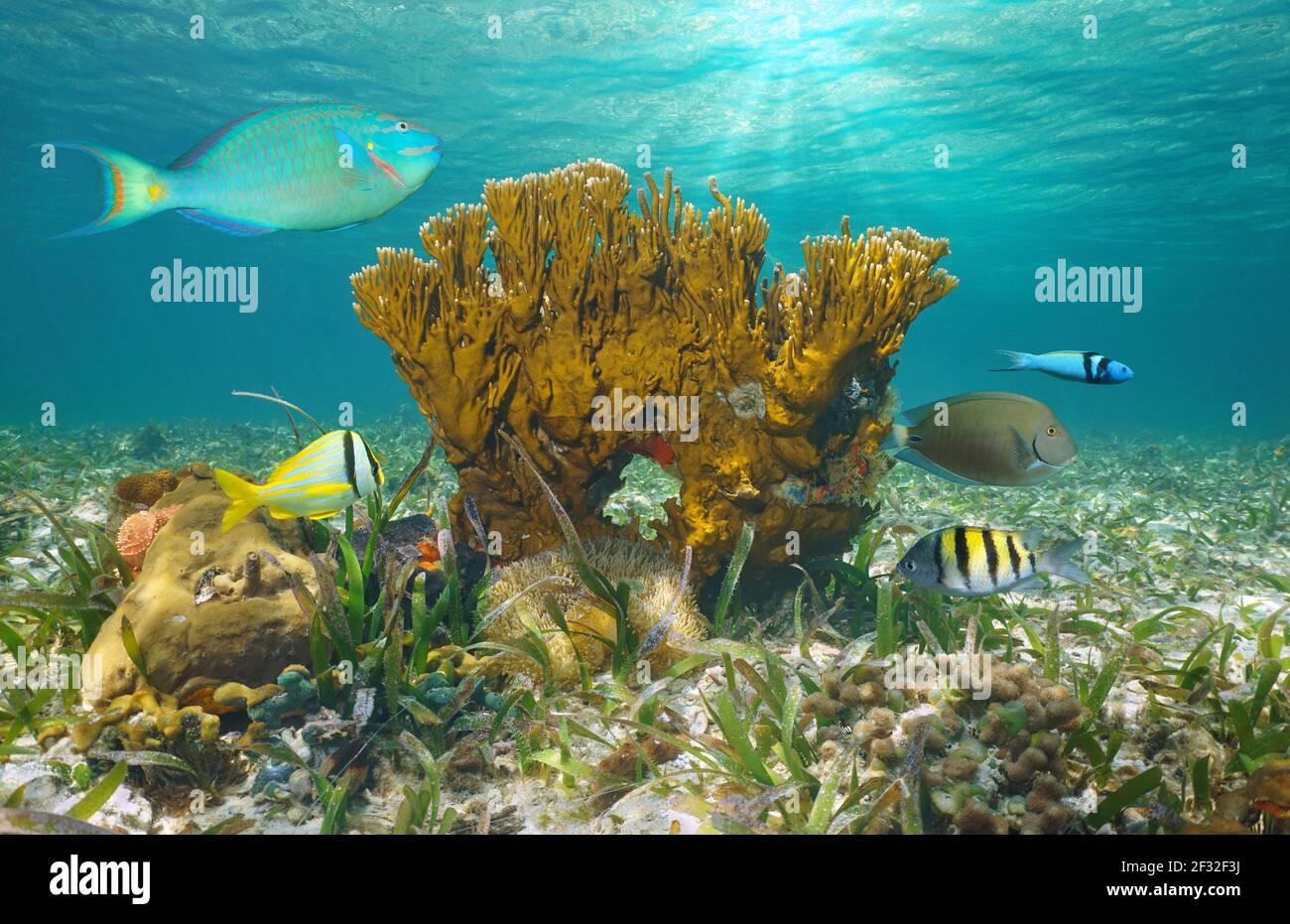 Vida marina en el océano, peces tropicales con coral fuego bajo el agua, Bahamas Foto de stock
