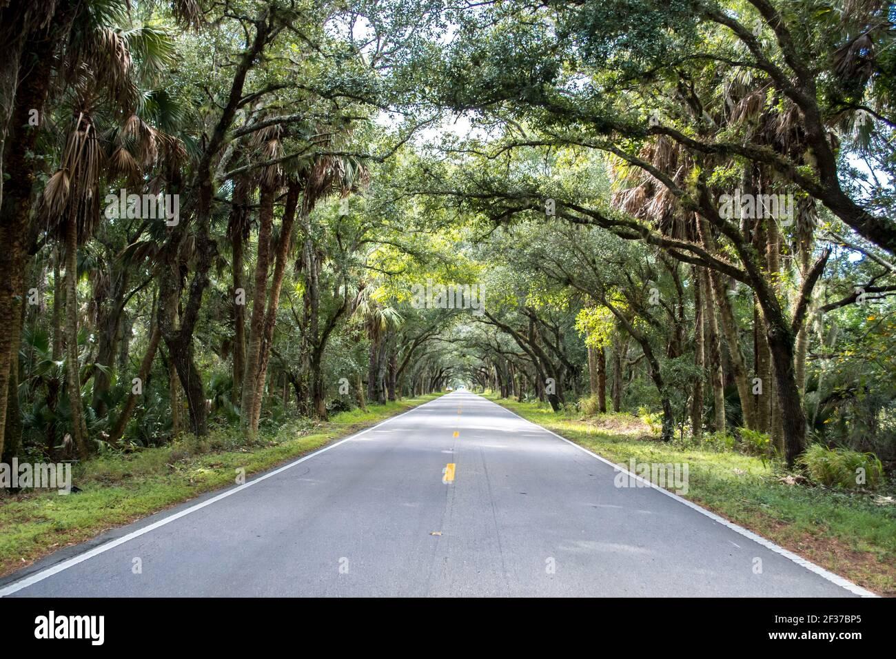 Conduzca a través de los árboles banianos en el túnel de árboles en Florida, carretera solitaria, carretera bordeada de árboles, hermosa naturaleza Foto de stock
