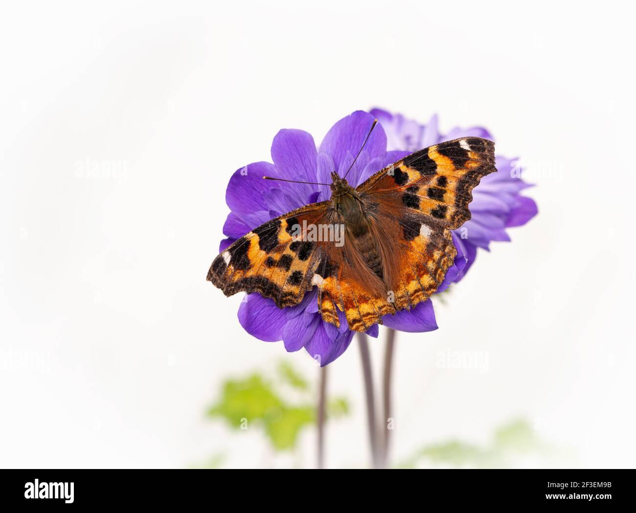 Macro de una mariposa de tortoiseshell descansando sobre una flor de anémona púrpura, sobre un fondo floral blanco Foto de stock