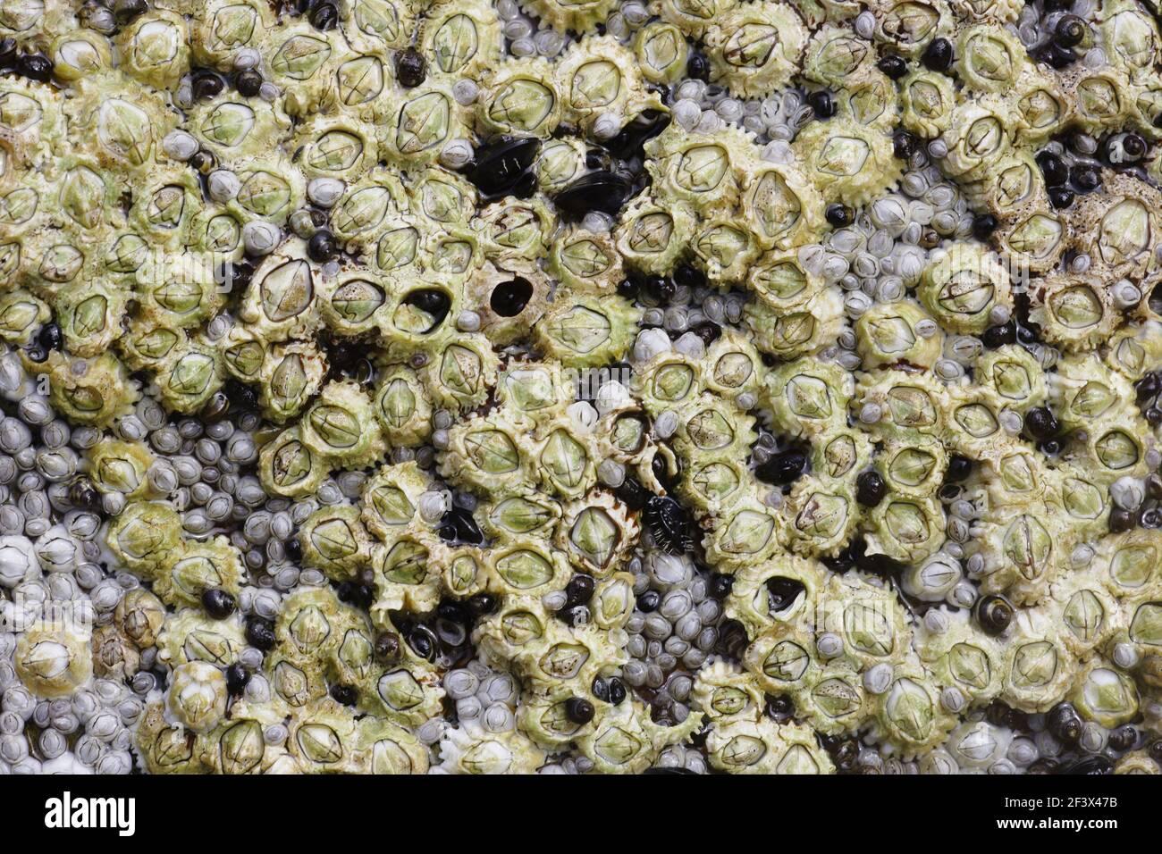 Acorn Barnacles expuestos a bajo tideSemibalanus balanoides áspero cabeza Orkney Tierra firme IN000916 Foto de stock
