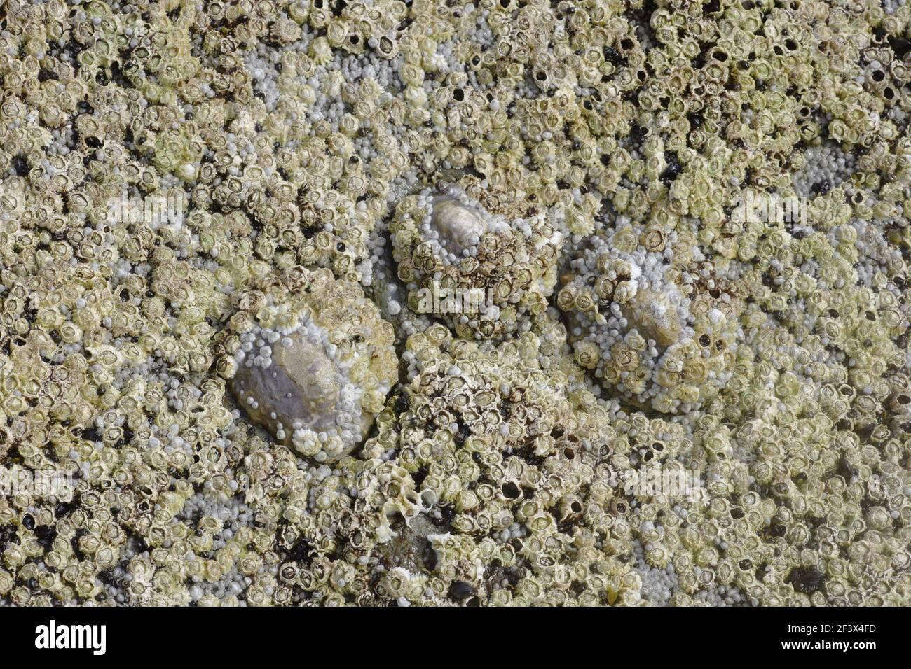 Barnacles de Acorn y Limpet común expuestos a balanoides tideSemibalanus bajos & Patella vulgata cabeza áspera Orkney Mainland IN000921 Foto de stock