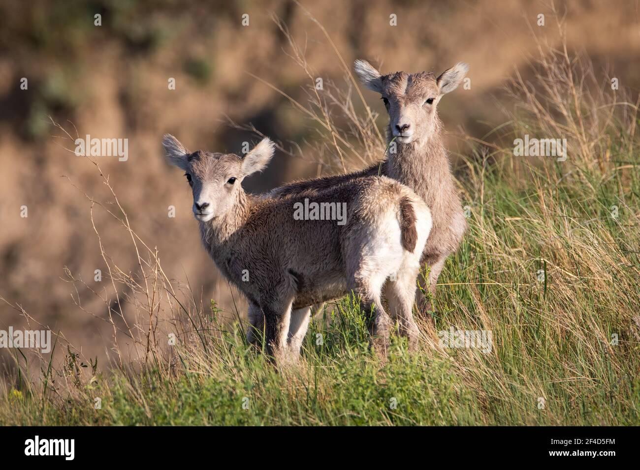 Dos ovejas de bighorn bebé de pie una al lado de la otra mirando hacia adelante y una oveja tiene un pedazo de hierba en su boca. Foto de stock