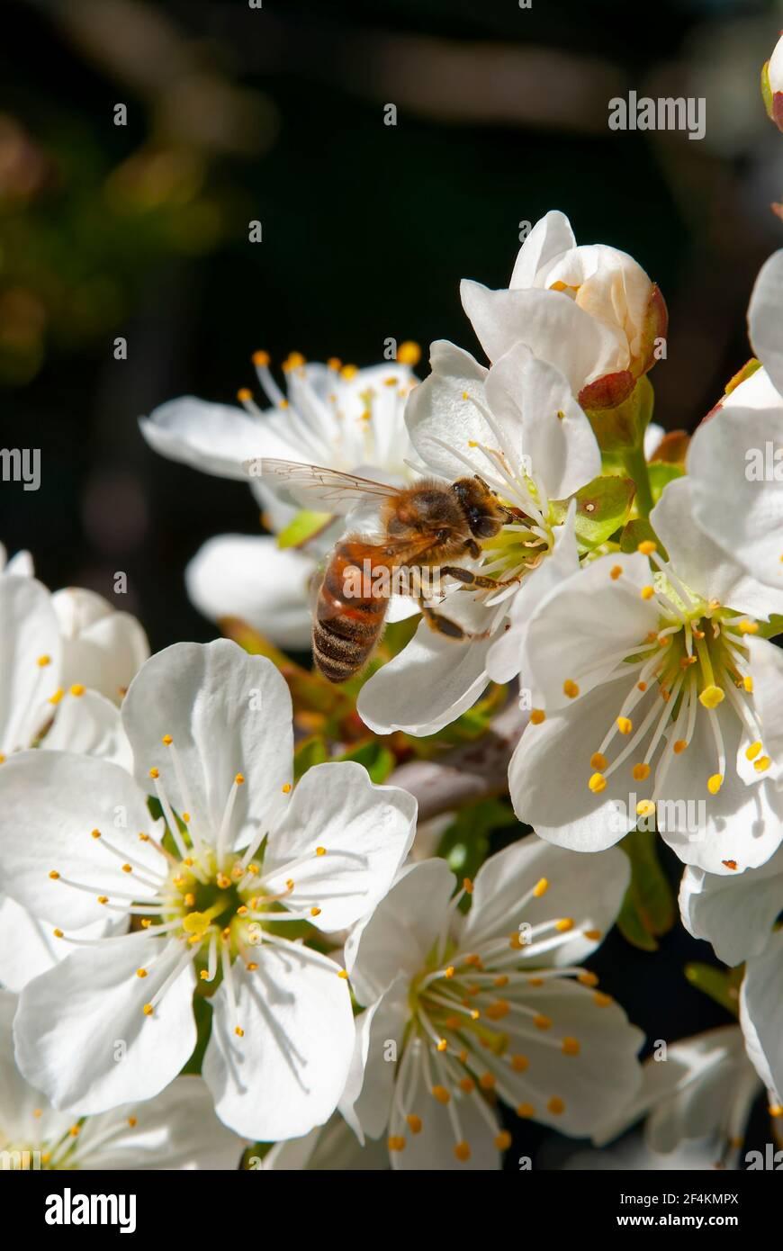 Abeja melífera Carniolan (Apis mellifera carnica) en flor de cerezo. Foto de stock