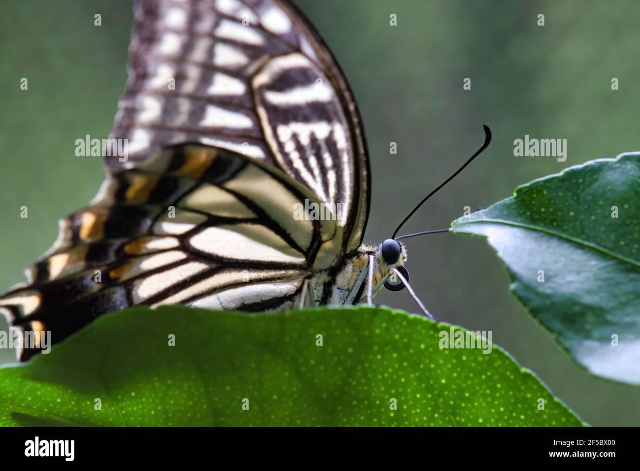 Ojo y cabeza detallados de una mariposa amarilla de cola de cisne. Foto de stock