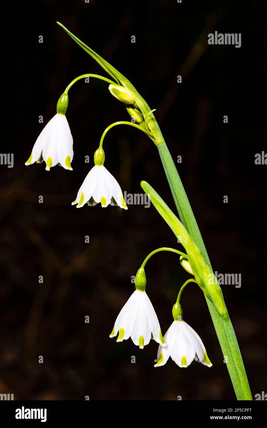 Primer plano de un grupo de flores de Leucojum en un jardín de primavera, Londres, Reino Unido Foto de stock