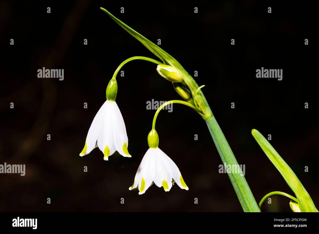 Primer plano de dos flores de Leucojum en un jardín de primavera, Londres, Reino Unido Foto de stock