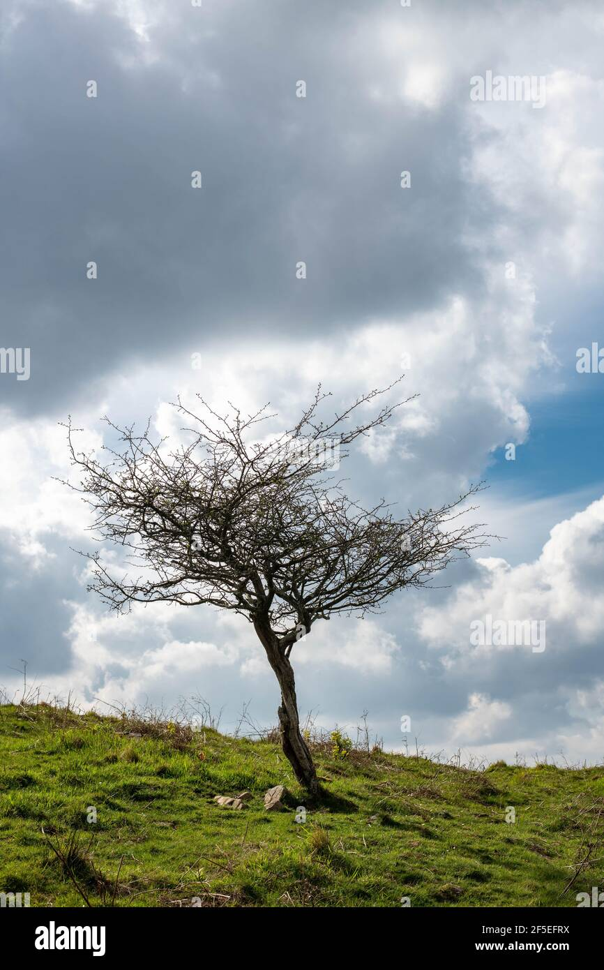 Un árbol solitario sin hojas en la cima de una montaña con cielo dramático Foto de stock