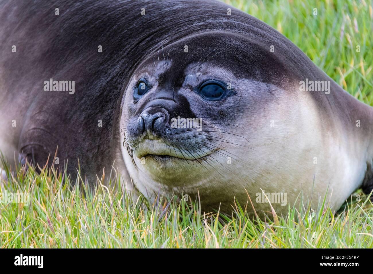 Primer plano de un lindo elefante del sur foca Pup, Mirounga leonina, sea Lion Island, en las Islas Malvinas, Océano Atlántico Sur Foto de stock