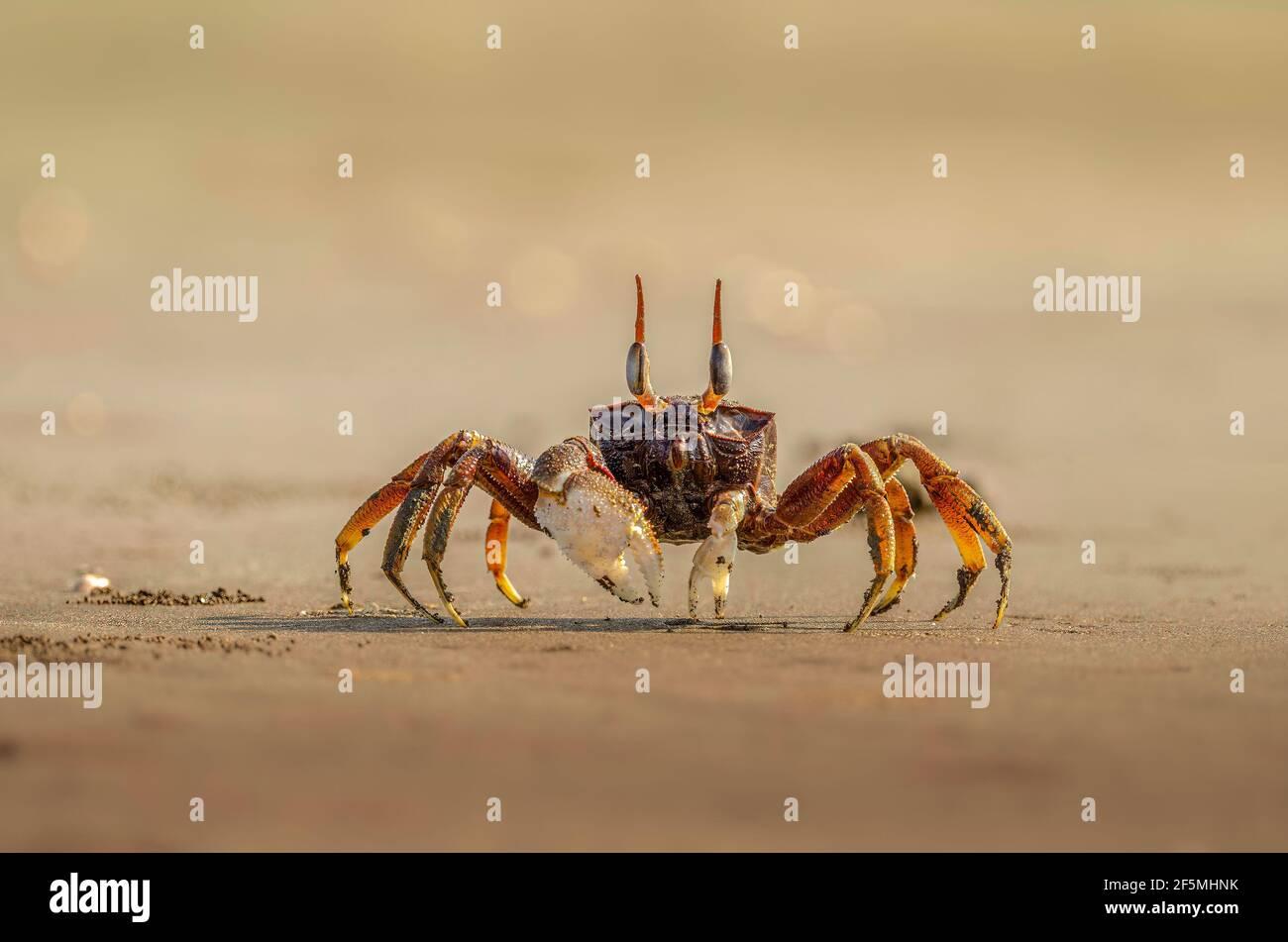 Crab fantasma en la arena en la orilla del mar Foto de stock