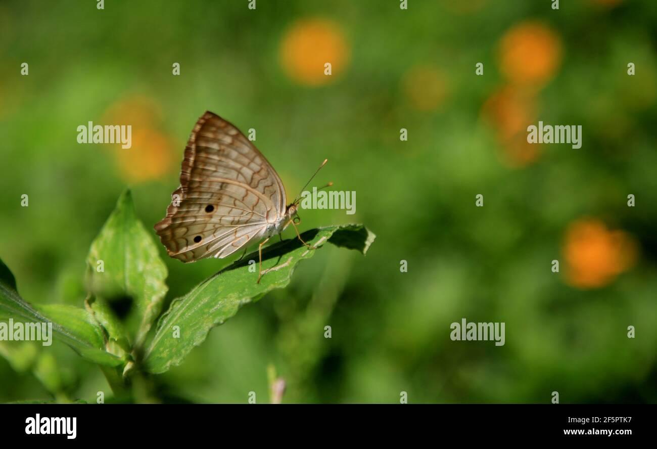 salvador, bahía / brasil - 11 de junio de 2020: Mariposa blanca se ve chupar néctar de una flor en un jardín en la ciudad de Salvador. *** Título local Foto de stock