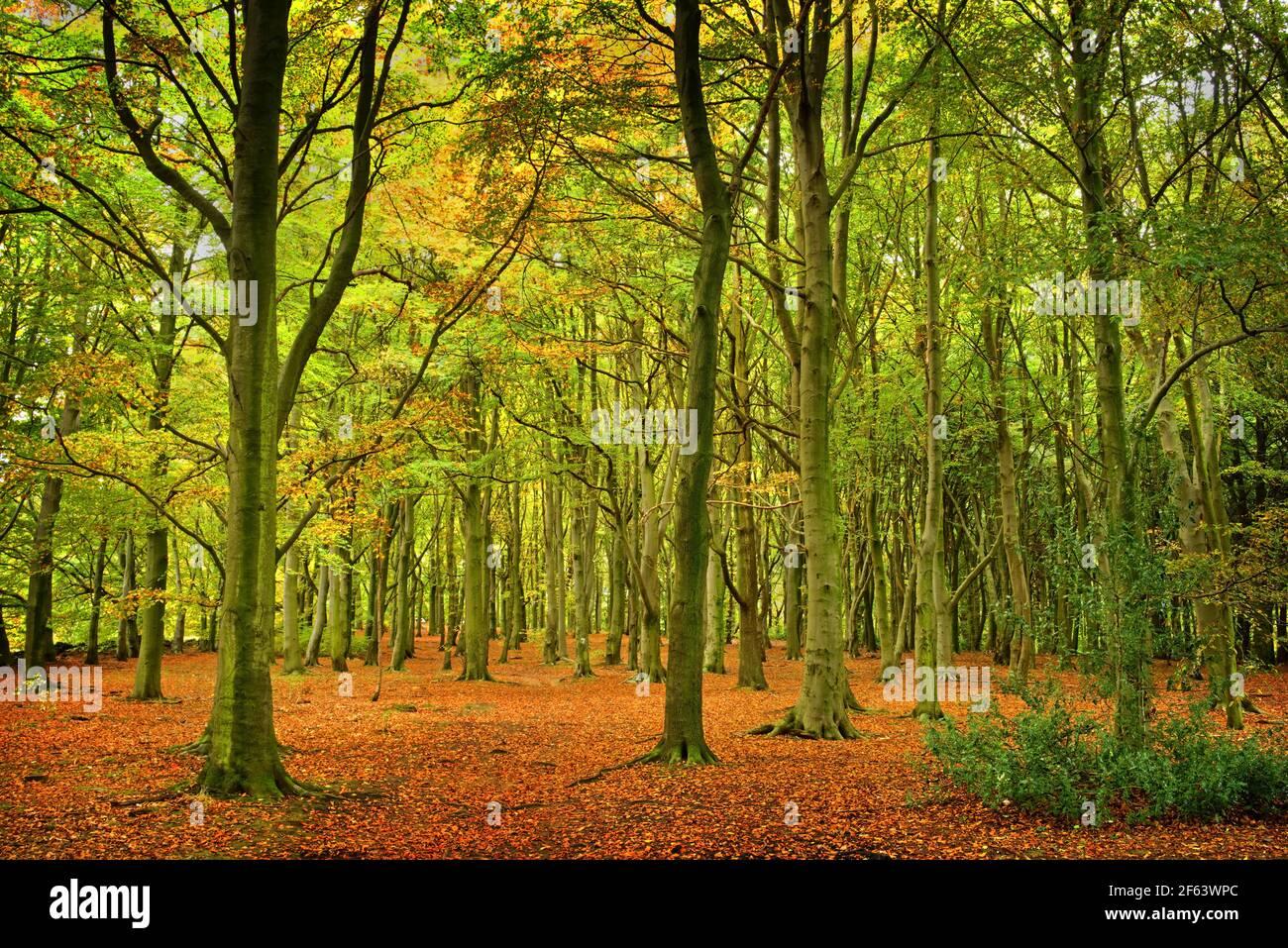 Reino Unido, South Yorkshire, Barnsley, Wombwell Wood Foto de stock