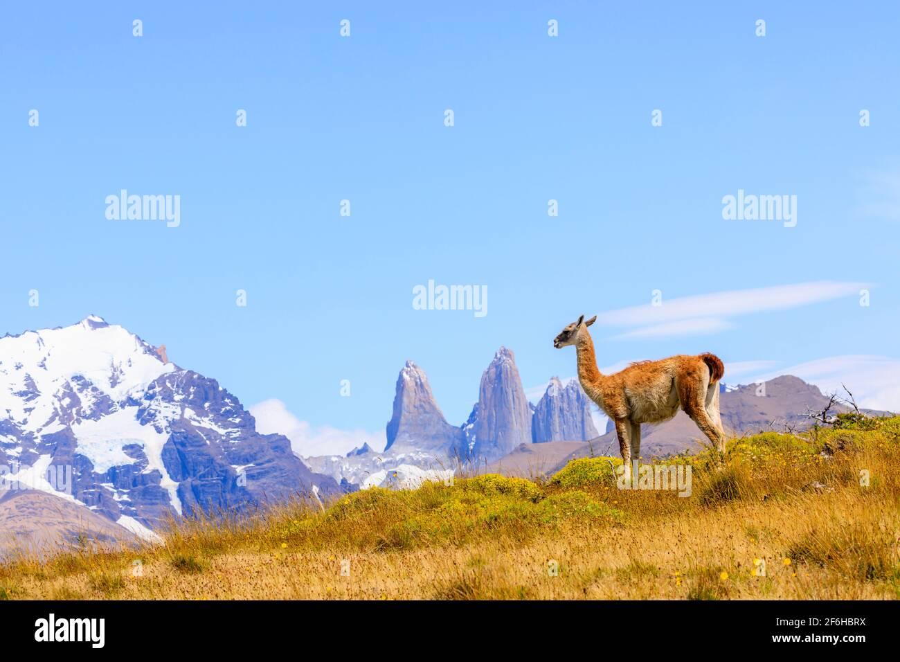 Guanaco (Lama guanicoe) de pie sobre una colina junto a las Torres del Paine, Parque Nacional Torres del Paine, Ultima Esperanza, Patagonia, sur de Chile Foto de stock