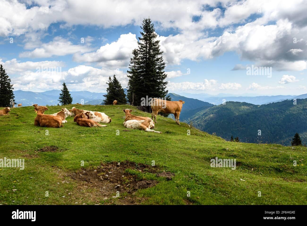 Vacas de ganado de rango libre en pastos verdes de alta montaña. Cría orgánica en la temporada de verano en Velika Planina, Eslovenia Foto de stock