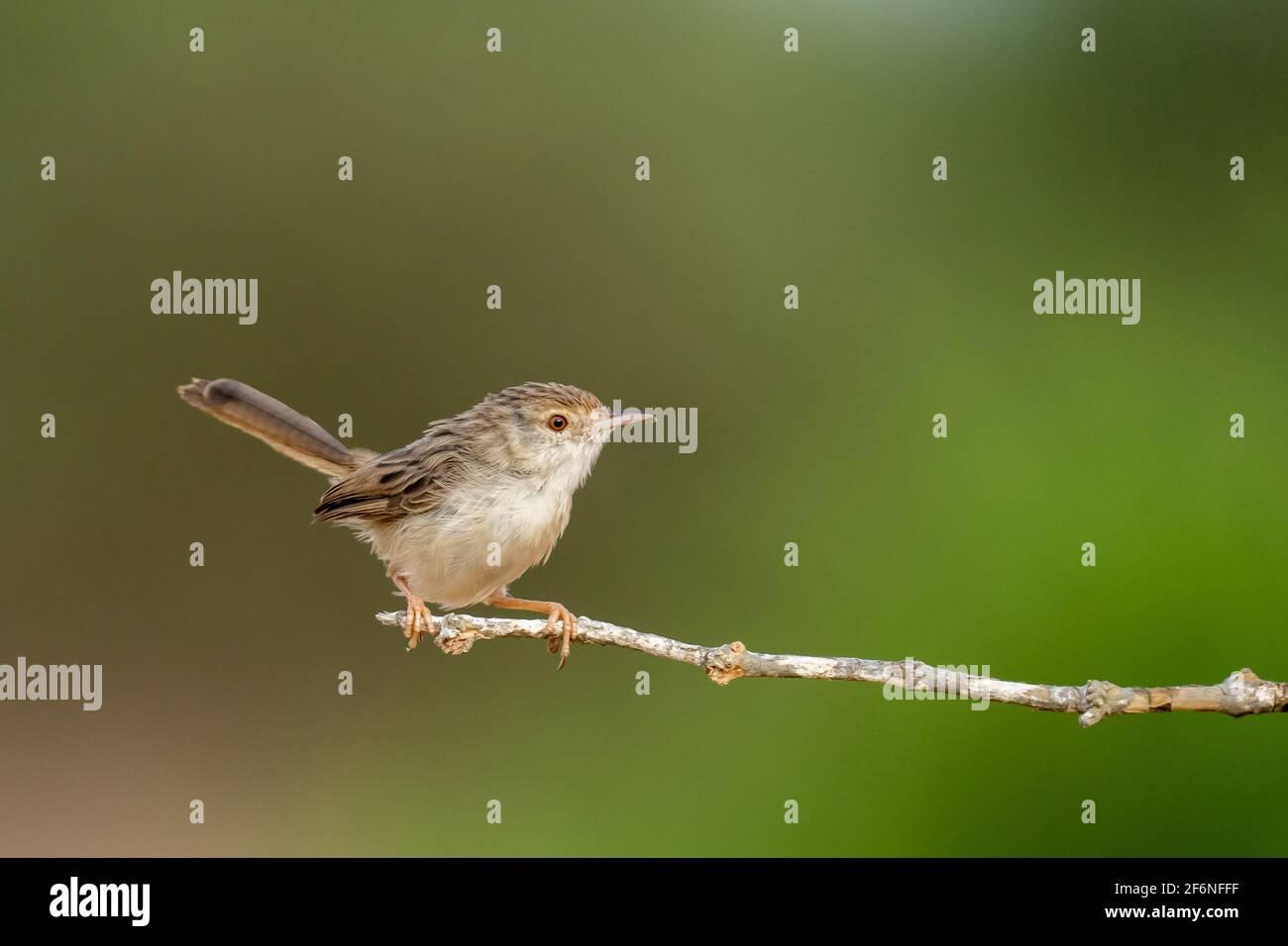 Female House Sparrow (Passer domesticus biblicus) encaramado en una rama, fotografiado en Israel en septiembre Foto de stock