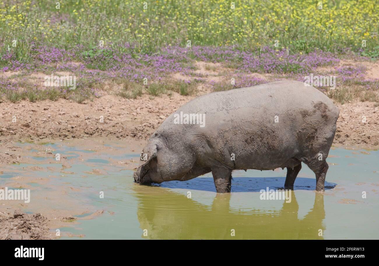Raza sin pelo de cerdo ibérico negro. Extremadura, España. Disfrutar del barro. Foto de stock