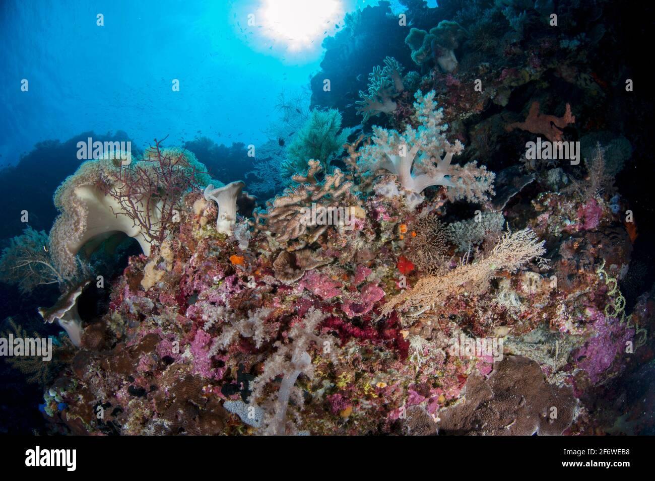 Corales (clase Anthozoa) con sol en el fondo, sitio de buceo de la pared de la baliza, isla Nyata, cerca de Alor, Indonesia. Foto de stock