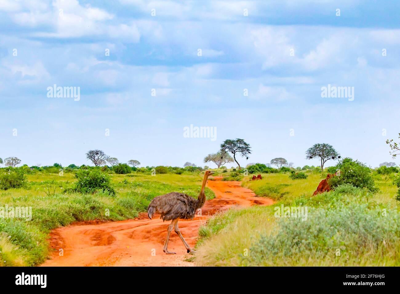 Foto de cerca de un avestruz se encuentra en un camino de tierra en medio de un safari en Tsavo este de Kenia. Es una foto de vida silvestre de África. Foto de stock