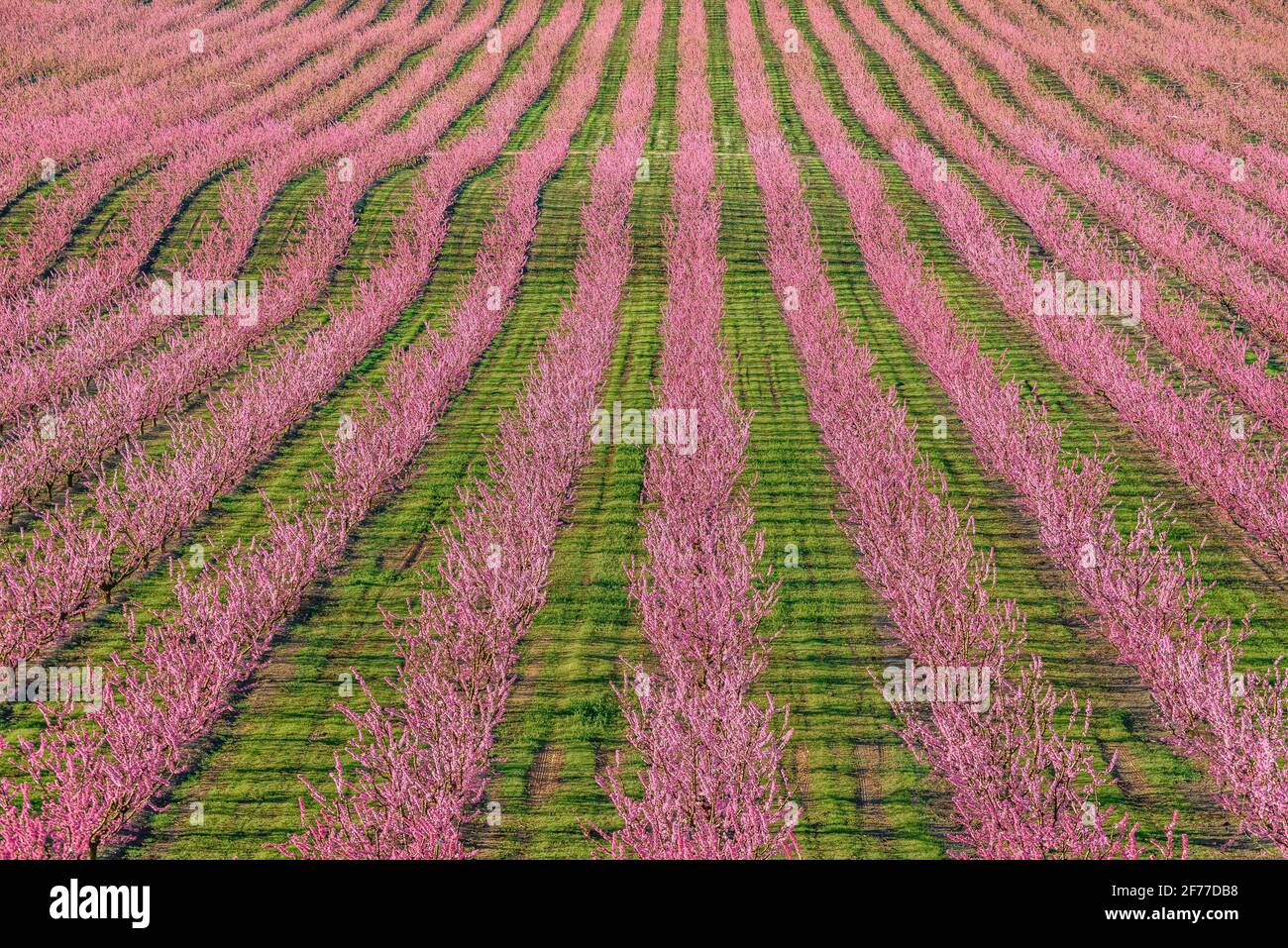 Florece árboles frutales (melocotones) en campos cercanos al pueblo de Sunyer en primavera (Lleida, Cataluña, España) ESP: floración en los campos de árboles frutales Foto de stock