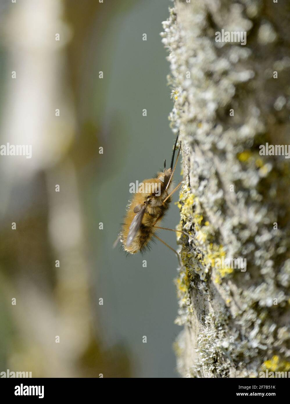 Mosca de la abeja (mayor / borde oscuro / Grande Mosca de la abeja: Bombylius mayor) hembra. Kent, Reino Unido, principios de abril Foto de stock