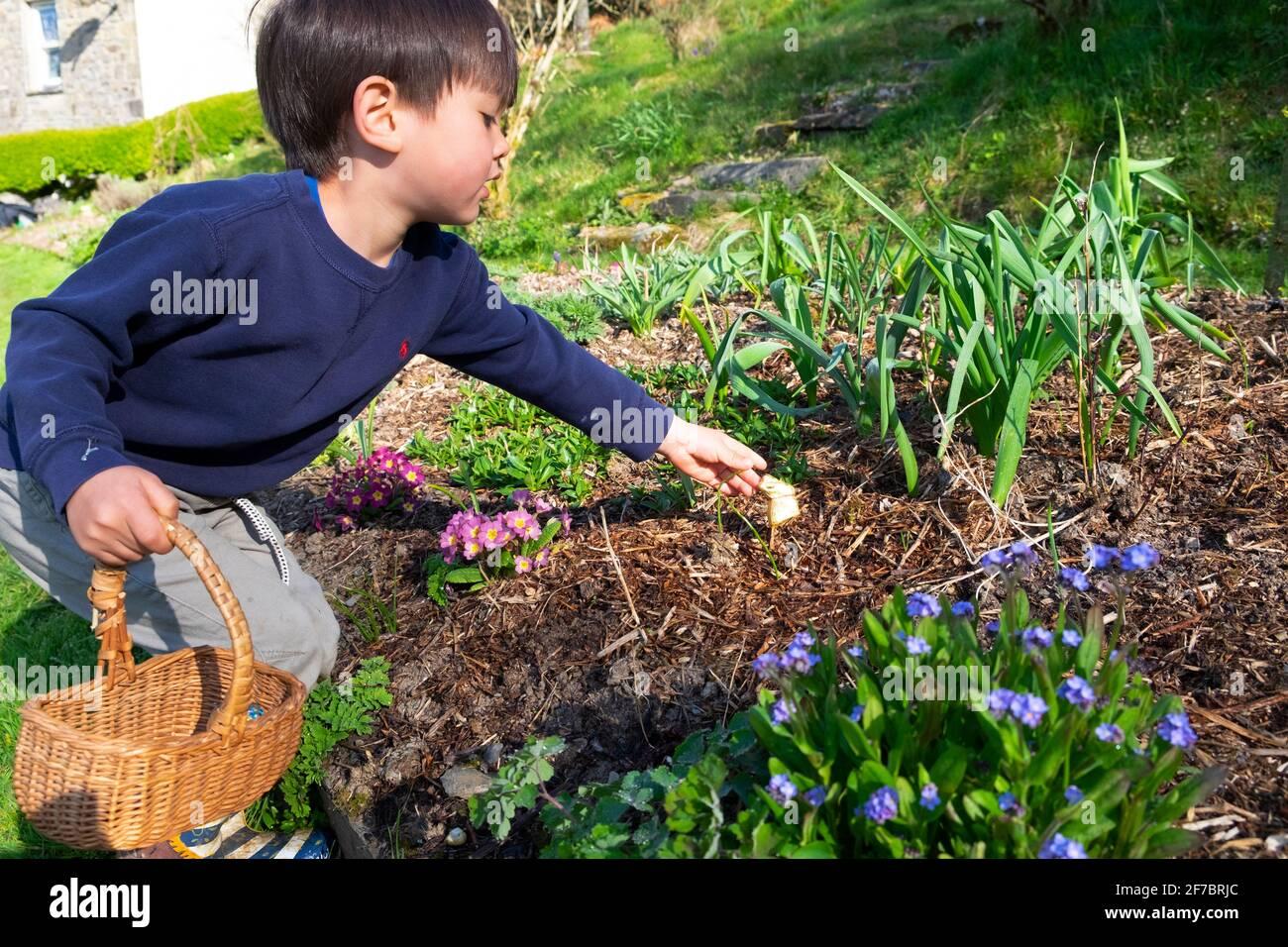 Niño niño de 4 años sosteniendo cesta alcanzando para conejo de chocolate En el jardín de flores en la caza de huevos de Pascua Carmarthenshire Gales Reino Unido Gran Bretaña KATHY DEWITT Foto de stock