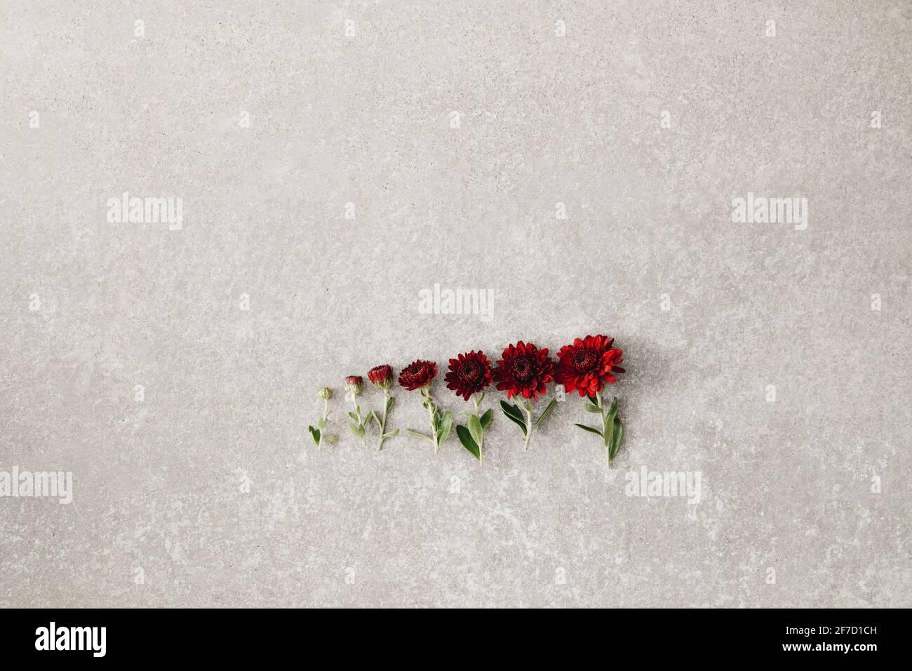 Arreglo floral creativo sobre fondo de hormigón gris, concepto de vida, etapas de crecimiento, plano, espacio de copia. Foto de stock