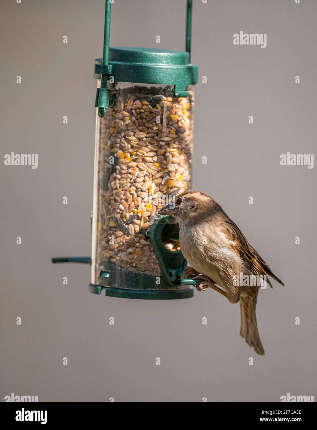 Una mujer gorrión de la casa (Passer domesticus) Un pájaro común del jardín en el Reino Unido que cuelga y alimenta de un alimentador de pájaros Foto de stock