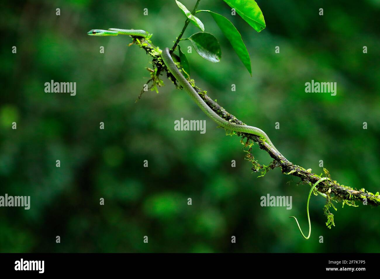 Oxybelis brevirostris, serpiente de seno corto de Cope, serpiente roja en la vegetación verde. Reptiles forestales en hábitat, en la rama arbórea, Costa Rica. Wi Foto de stock