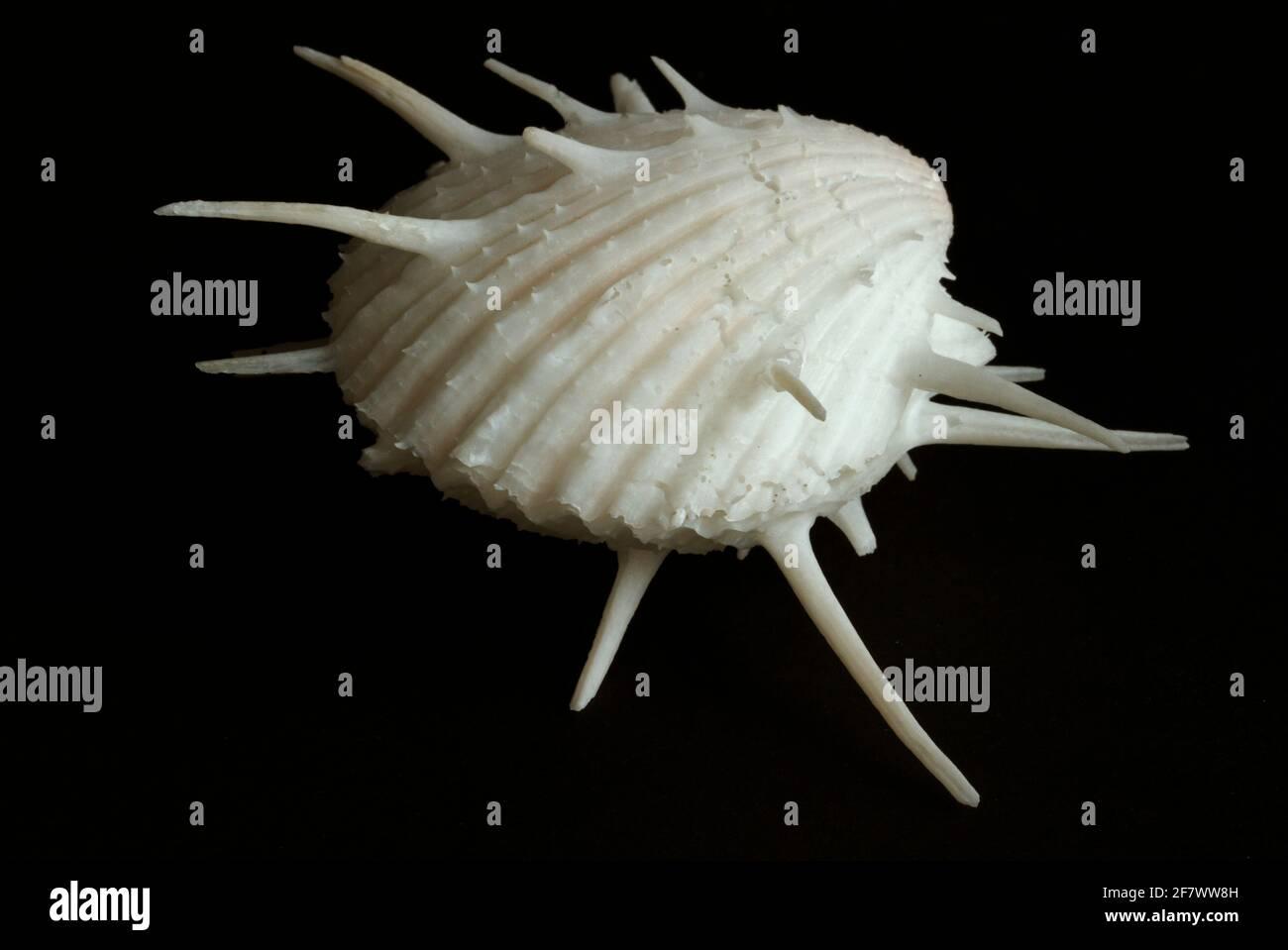 El nombre común de la Ostra espinosa o espinosa es engañoso ya que no son ostras verdaderas, pero son un bivalvo de una familia distintiva y relativamente pequeña Foto de stock