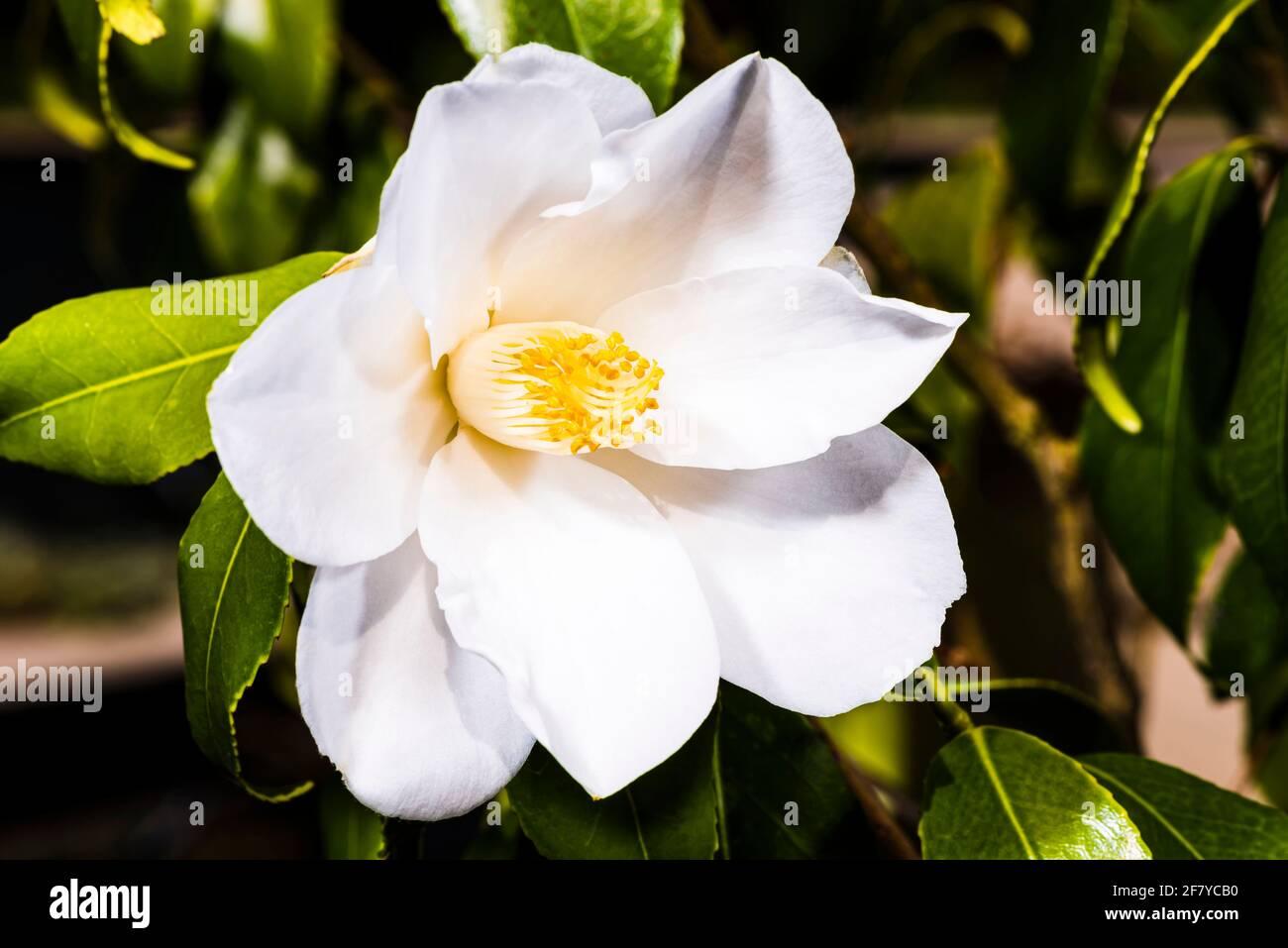 Primer plano de una gran cabeza de flores Camellia en un jardín de primavera del norte de Londres, Londres, Reino Unido Foto de stock