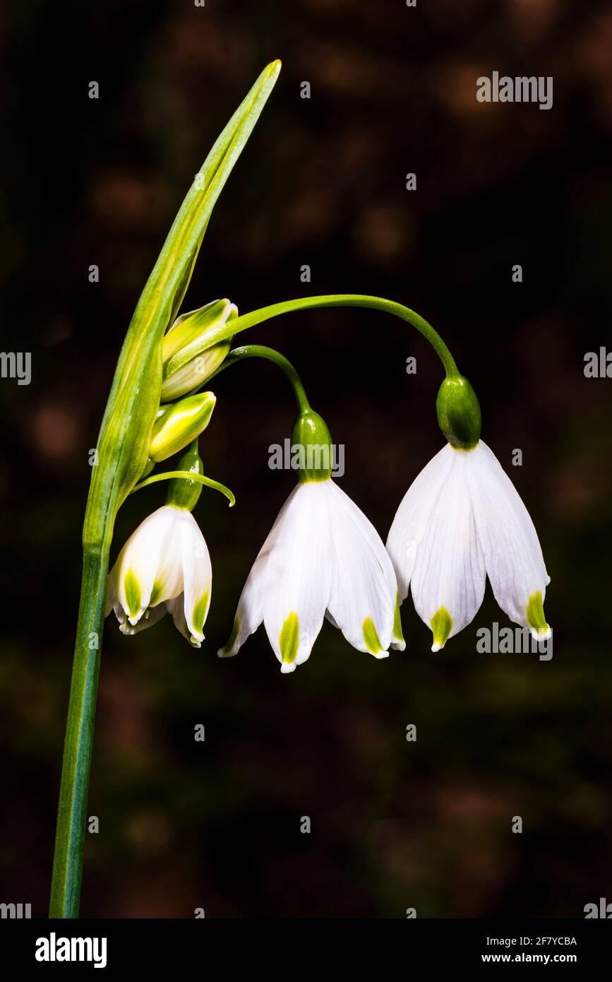Primer plano de una flor Leucojum en un jardín de primavera del norte de Londres, Londres, Reino Unido Foto de stock
