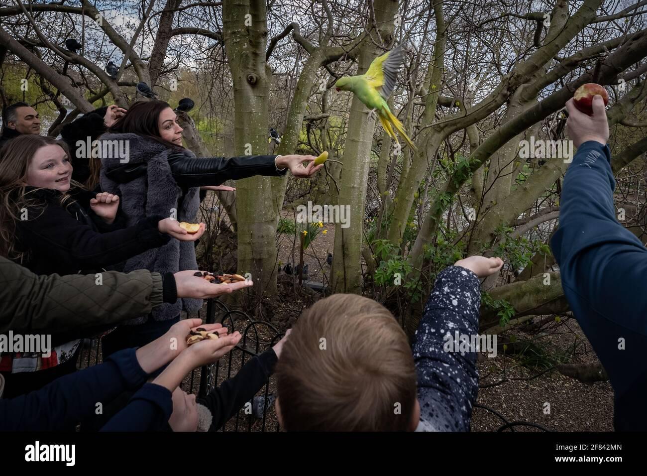 Londres, Reino Unido. 11th de abril de 2021. Clima en el Reino Unido: Los turistas alimentan a los Parakeets locales de cuello redondo en una suave tarde de domingo en St. James's Park. Crédito: Guy Corbishley/Alamy Live News Foto de stock