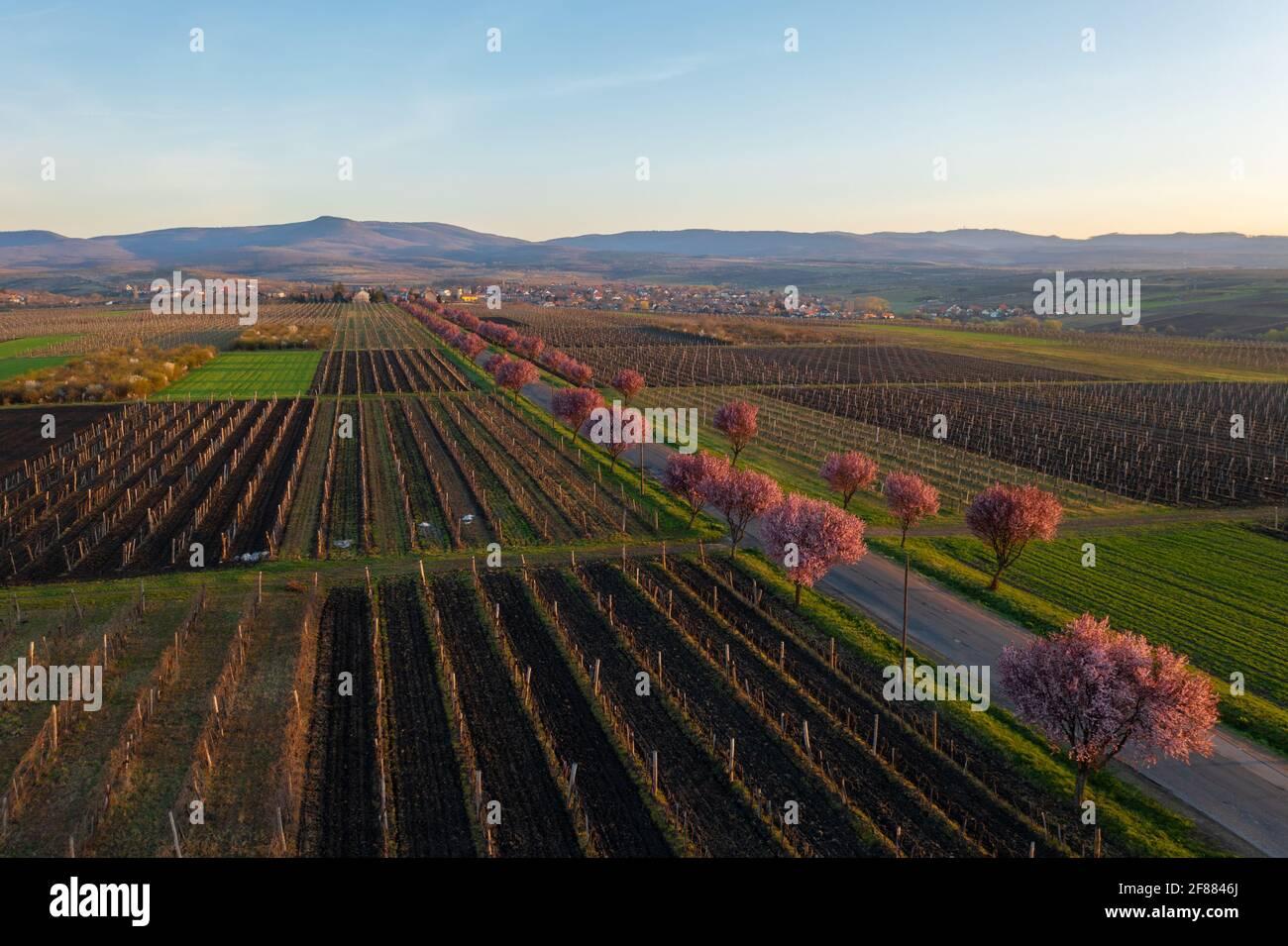 Gyongyostarjan, Hungría - Vista aérea sobre los hermosos árboles de ciruela en flor junto a la carretera. Paisaje del amanecer en primavera, flor de cerezo. Foto de stock