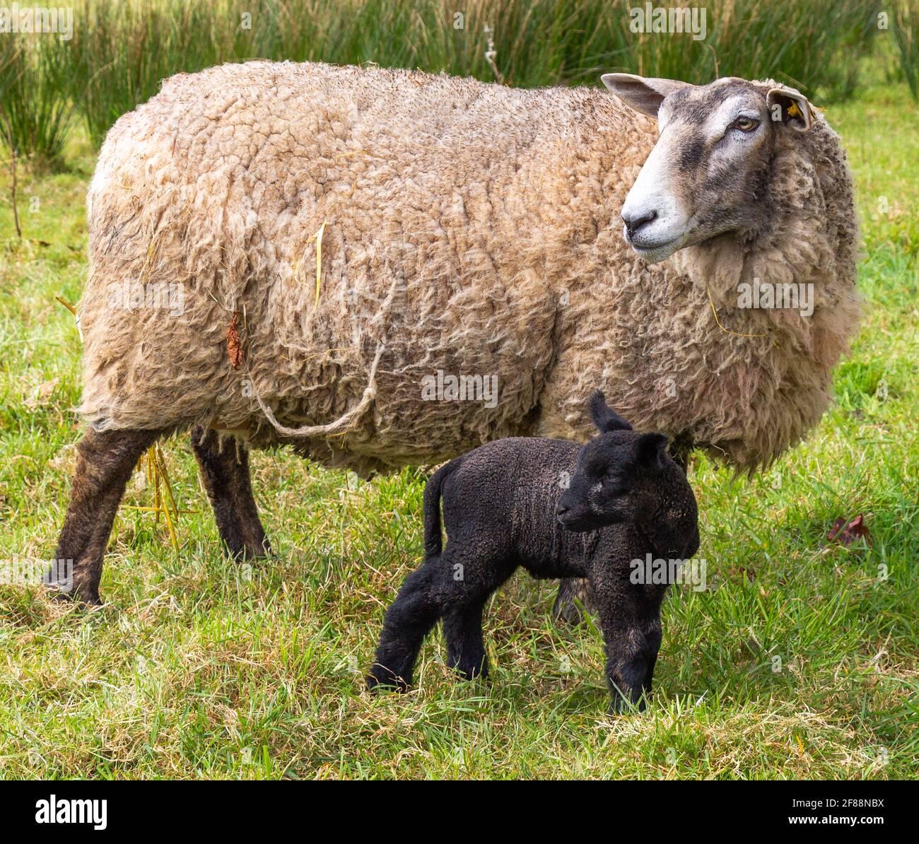 Suffolk Cross Ewe Ovis aries con corderos negros de un día Foto de stock