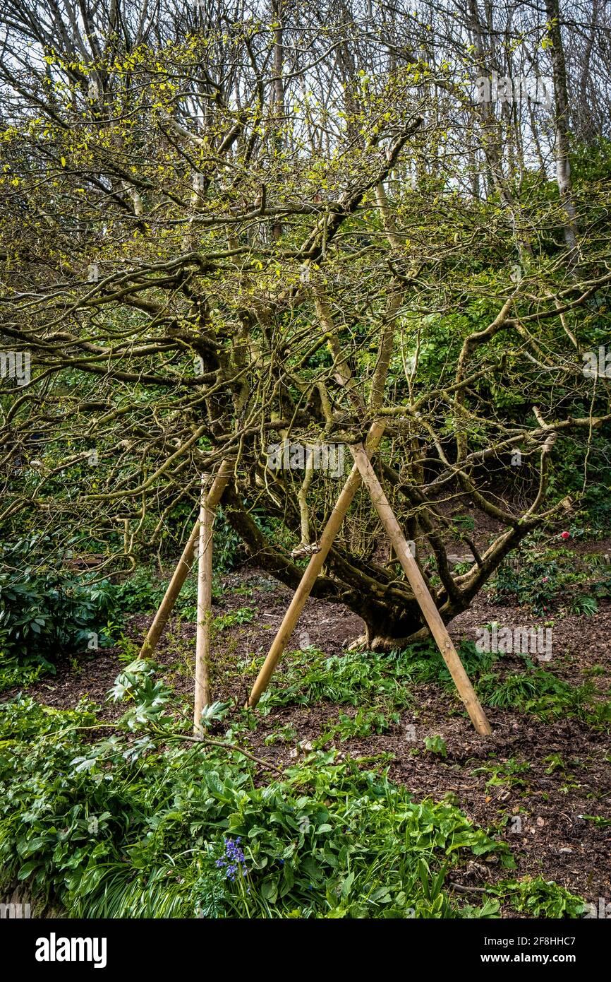 Un árbol maduro de madera de hierro parrotia persica dañado en vientos altos apuntalado por apoyos de madera en Trenance Gardens en Newquay en Cornwall. Foto de stock