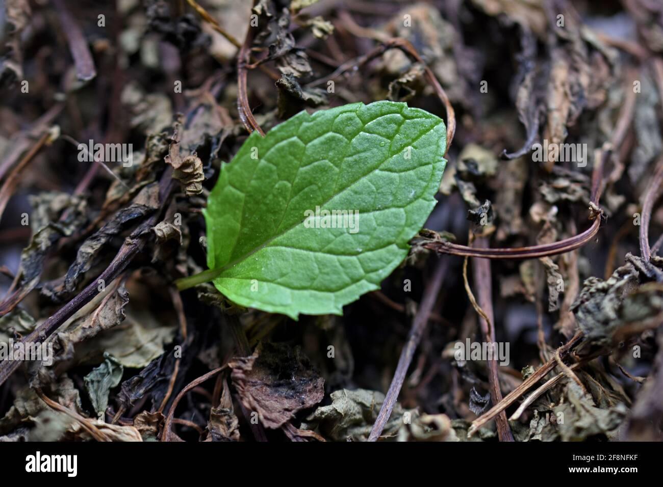 Menta fresca y seca dejar sobre un fondo blanco, hierbas secas para el uso en medicina, fitoterapia, spa, tinturas de cosméticos herbales Foto de stock