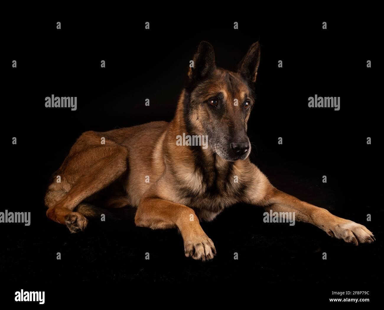pastor belga frente al fondo negro Foto de stock