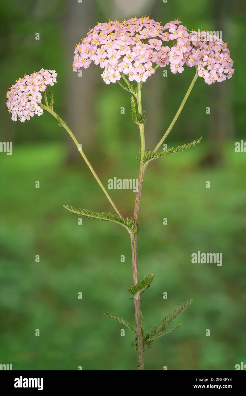 Flecha común, milfoil (Achillea millefolium), inflorescencia, Alemania, Baviera Foto de stock