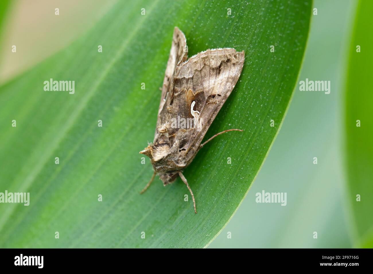 La Gata de la Plata (Autographa gamma) es una especie de polilla migratoria perteneciente a la familia Noctuidae. Las orugas de estas polillas de lechones son plagas de más de 200 plantas. Foto de stock