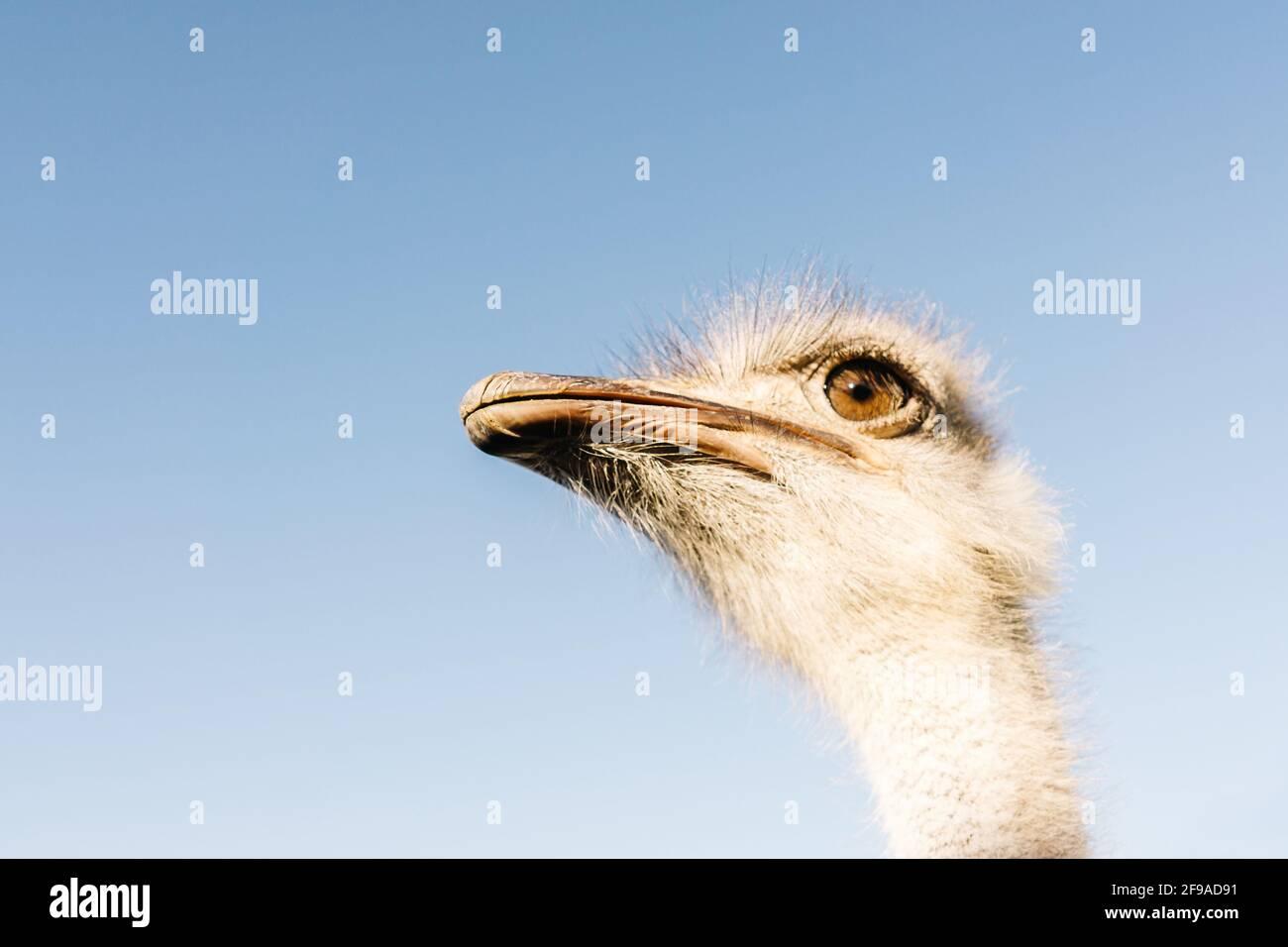 Retrato frontal de la cabeza y el cuello de avestruz sobre fondo azul cielo. Foto de stock