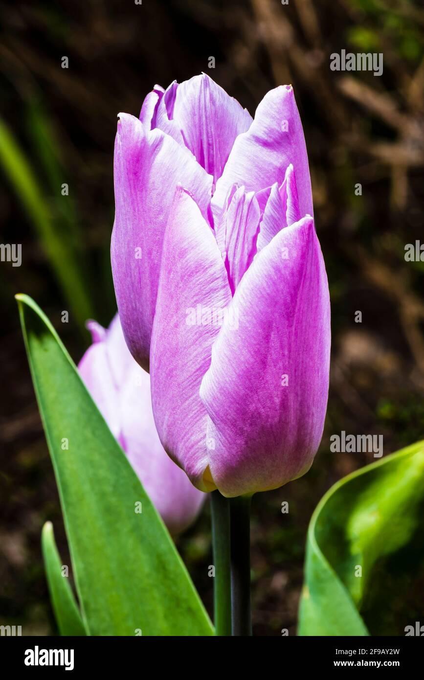 Primer plano de un tulipán rosa (Tulipa 'Light and Dreamy') en un jardín de primavera del norte de Londres, Londres, Reino Unido Foto de stock